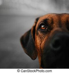 close up portrait of a rhodesian ridgeback dog