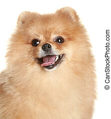 Close-up portrait of a spitz dog
