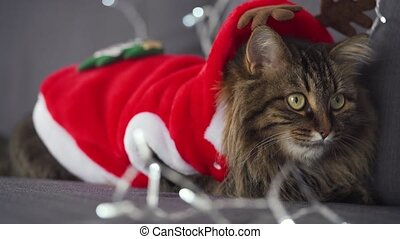 Close up portrait of a tabby fluffy cat dressed as Santa Claus lies on a background of Christmas garland. Christmas symbol