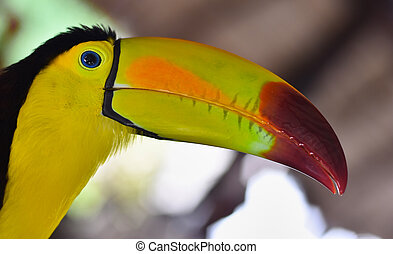 Close-up portrait of a toucan #2