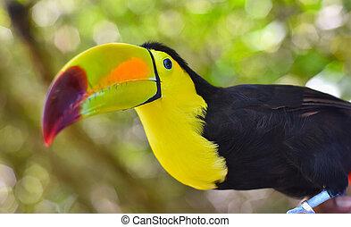 Close-up portrait of a toucan