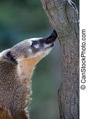 Close-up portrait of a very cute White-nosed Coati (Nasua narica) aka Pizote or Antoon. Diurnal, omnivore mammal