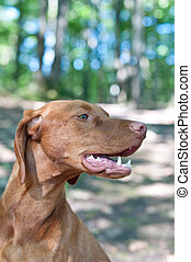 Close-up Portrait of a Vizsla Dog