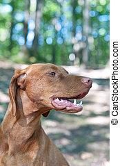 Close-up Portrait of a Vizsla Dog