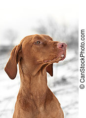 Close-up Portrait of a Vizsla Dog in Winter