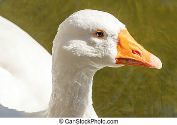 Close up Portrait of a White goose