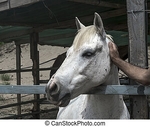Close-up portrait of a white horse standing in a stall. Muzzle of a horse looking at left side. Man's hand stroking an animal