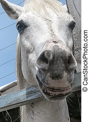 Close-up portrait of a white horse standing in a stall. Muzzle of a horse looking into camera