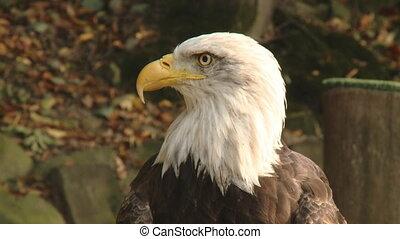 Close up portrait of a wild eagle