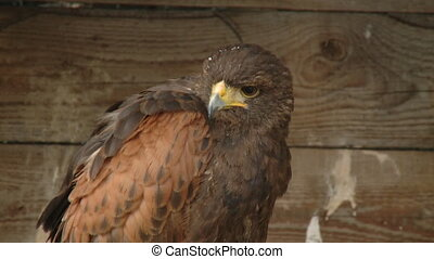 Close up portrait of a wild hawk
