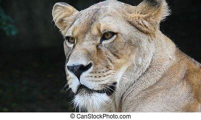 Close up portrait of African lioness, lion female
