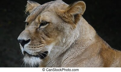Close up portrait of African lioness, lion female
