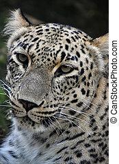 Close up portrait of Amur leopard - Face to face close up...