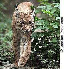 Close-up portrait of an Eurasian Lynx (Lynx lynx) - Close-up...
