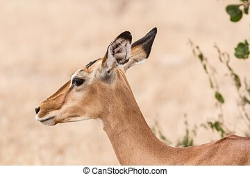 Close up portrait of an impala