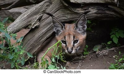 Close up portrait of baby caracal kitten - Close up portrait...