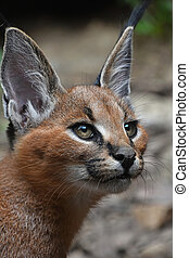 Close up portrait of baby caracal kitten