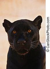 Close up portrait of black jaguar (Panthera onca)