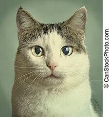close up portrait of blue eyed cat