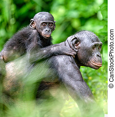 Close up Portrait of Bonobo Cub on the mother's back in natural habitat. Green natural background. The Bonobo ( Pan paniscus), called the pygmy chimpanzee. Democratic Republic of Congo. Africa