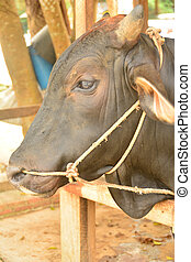 Close-up portrait of Brown Cow on the Farm