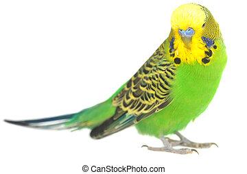 portrait of budgerigar - close-up portrait of budgerigar on...
