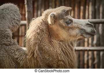 Portrait of Camel - Close up Portrait of Camel over the ...