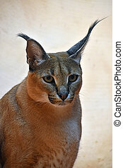 Close up portrait of caracal - Close up portrait of one...