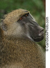 Close-up portrait of  a Chacma Baboon (Papio ursinus) looking directly at camera in Victoria Falls, Zambia.