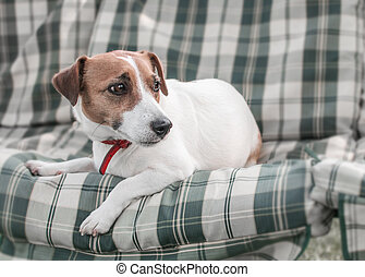 Close-up portrait of cute dog Jack russell lying on gray green checkered pads or cushion on Garden bench or sofa outside at sunny day. The resting doggy is looking away