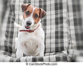 Close-up portrait of cute dog Jack russell sitting on gray checkered pads or cushion on Garden bench or sofa outside at sunny day. The doggy is looking into camera