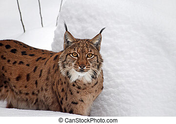 Close up portrait of Eurasian lynx in winter snow