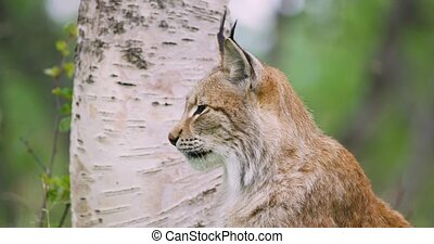 Close-up portrait of european lynx sitting in the forest -...