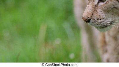 Close-up portrait of european lynx standing in the forest -...