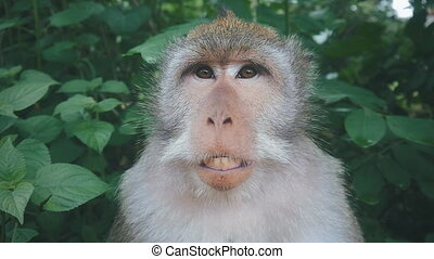 close-up portrait of funny rhesus monkey in natural setting,...