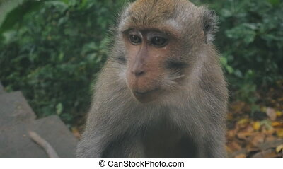 close-up portrait of funny rhesus monkey looking around -...