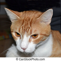 Close-up Portrait of Ginger Tomcat. Front view
