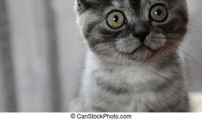 Close-up portrait of gray kitten of British breed - Close-up...