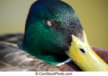 Close-up Portrait of Green Headed Mallard Duck Sleeping
