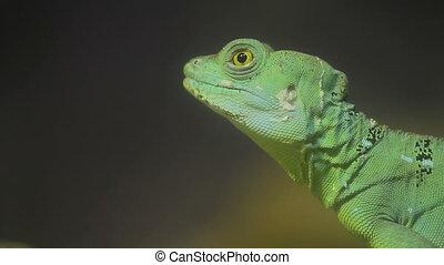 Close up portrait of green iguana lizard. Thailand.