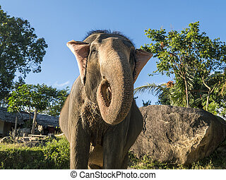 Close up portrait of Indian elephant with a trunk stretched to camera.