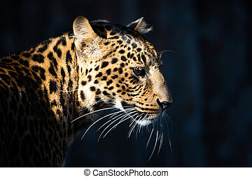 Close up portrait of leopard