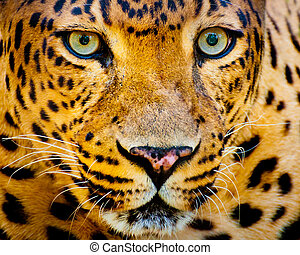 Close up portrait of leopard