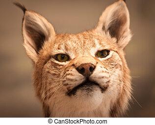 Close-up portrait of Lynx