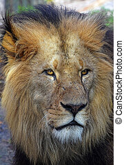 Close up portrait of male African lion