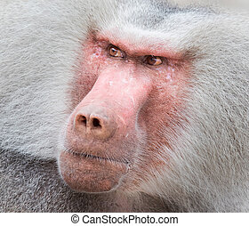 Close up portrait of male hamadryas baboon
