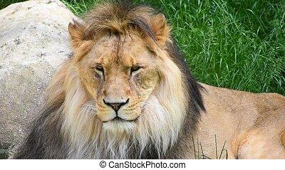Close up portrait of male lion