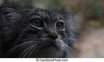 Close up portrait of manul Pallas cat - Extreme close up...