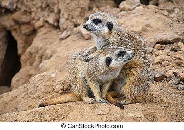 Close up portrait of meerkat family looking away