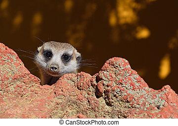 Close up portrait of meerkat looking at camera